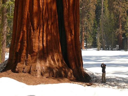 http://www.viewzone2.com/plant-sequoia.jpg